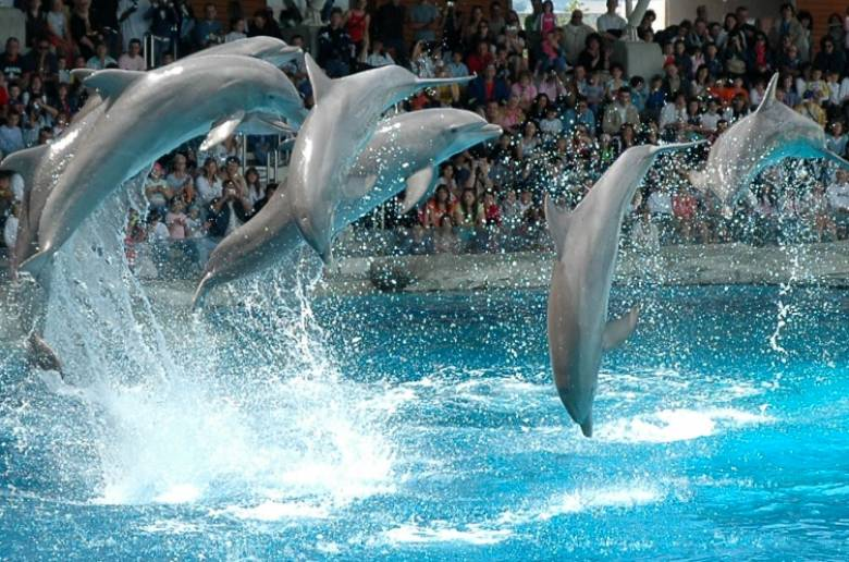 The attraction show is performed by the lovely dolphins of the breed ...